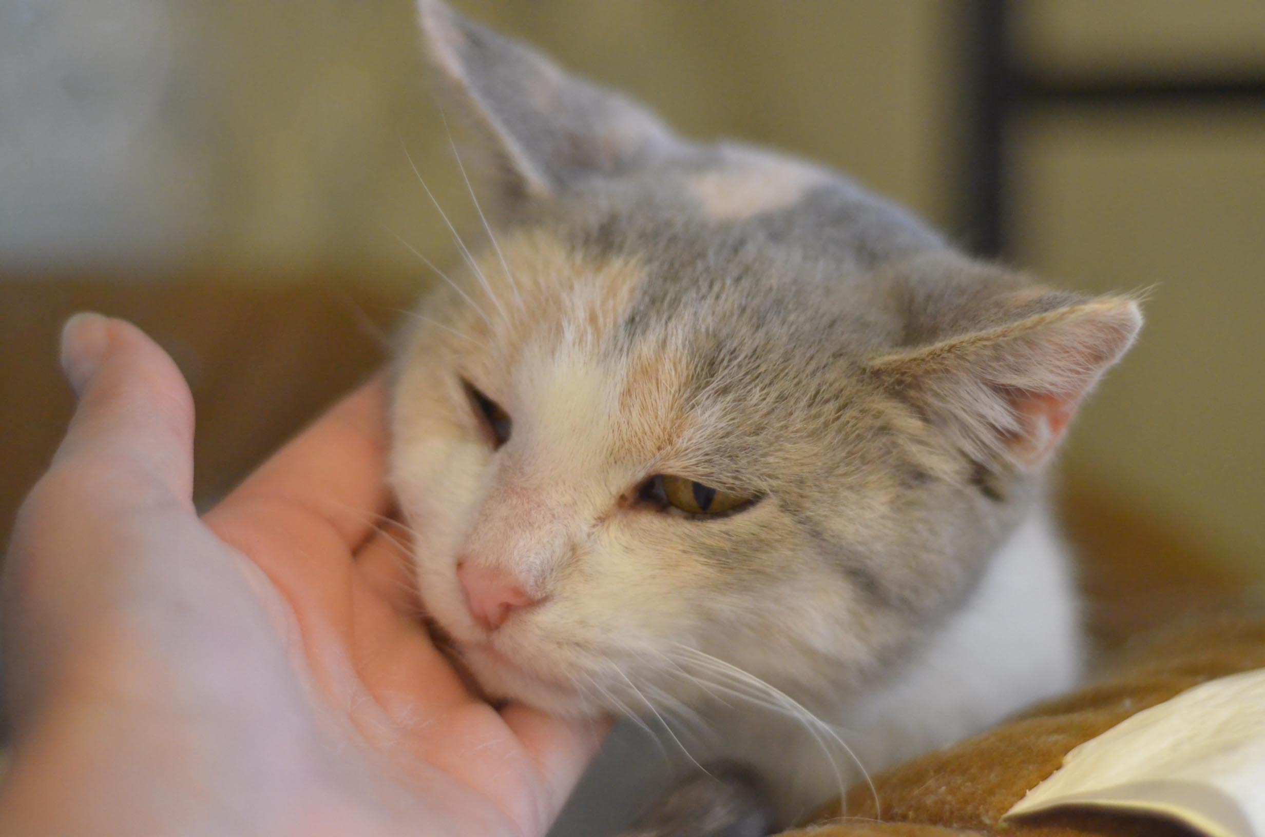How To Treat Deaf Cat Evelyn